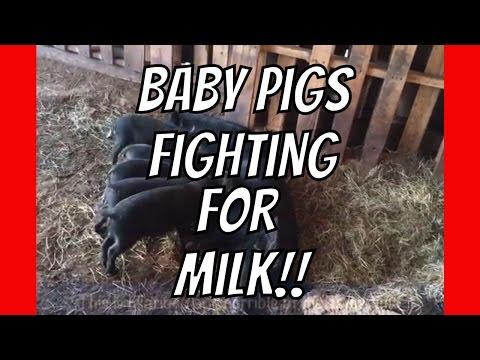 Cute Baby Pigs Fighting for Milk at AldermanFarms