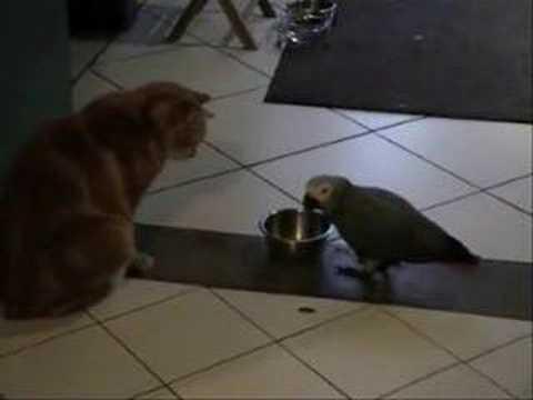 gris du gabon kiko prend la gamelle du chat charly à  Lectoure  ouf j'ai eu chaud!!!!