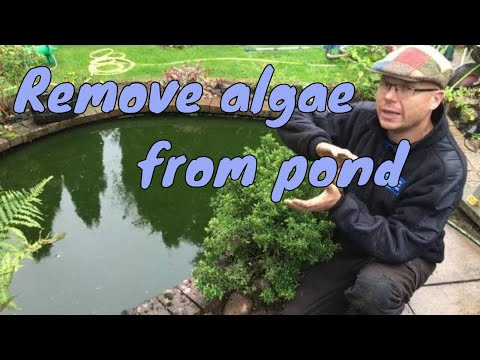 How to remove algae from pond without harming fish