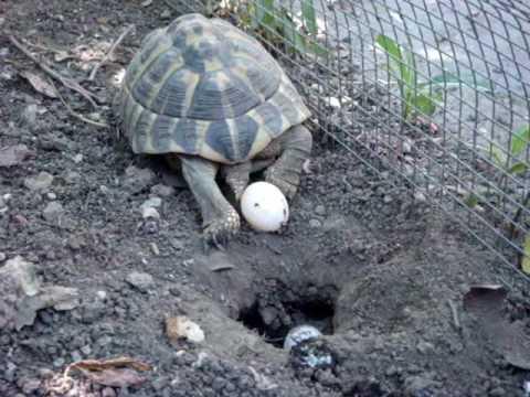Tartaruga depone uova youtube for Deposizione uova tartarughe terrestri