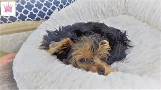 Новый щенок - Мими. Покупки в самом большом зоомагазине для нашего маленького йоркширского терьера.