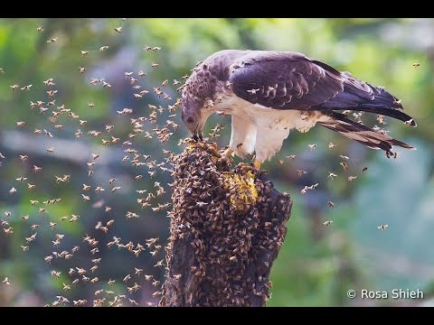 How Oriental Honey Buzzard got his name...