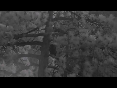 Big Bear🦅Jackie Sings A Song🎶Egret/Heron Flies By At Dusk🌙 Bald Eagle In The Roost Tree 🌲2020-08-08