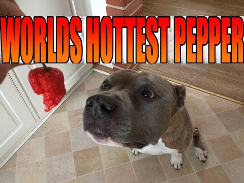 Dog react to Carolina reaper