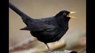 Video Garden Black Birds Chirping and Singing - Beautiful Bird Sounds and Natural Bird Song download MP3, 3GP, MP4, WEBM, AVI, FLV Mei 2018