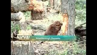 BBC Wildlife Beavers the Master Builders