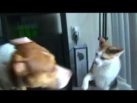 Злобный кот против собаки.mp4