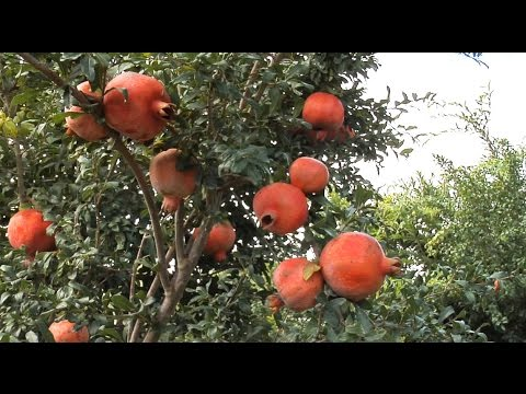 Georgia Growers Look To Pomegranates As New Cash Crop