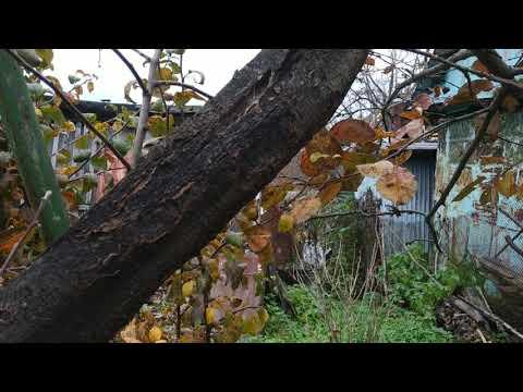 Болезни яблони. Черный рак (черные,обугленная кора )