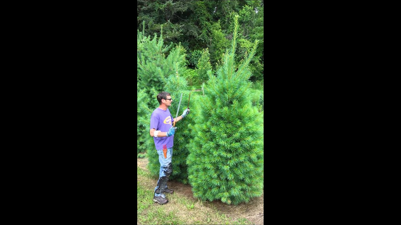 Christmas Tree Shearing - YouTube