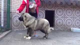 Щенок кавказской овчарки 5 месяцев, девочка. www.r-risk.ru +79262205603 Татьяна Ягодкина.