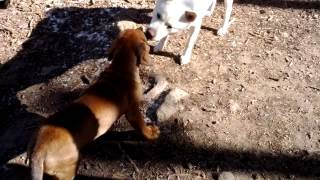 "This is a video of Tosa Inu (土佐犬) puppy ""Musashi"" meeting some m..."