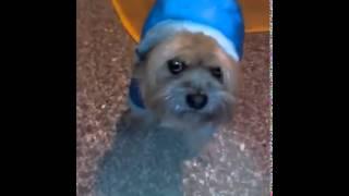 Dog with the coat for walk - Cane con il cappottino per la passeggiata