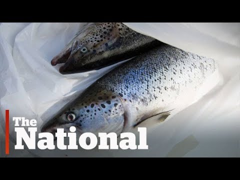 Escaped Atlantic salmon could destabilize Pacific marine life