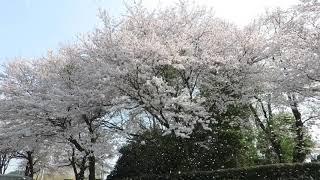 ウェザーリポート動画0404@栃木県さくら市14:13「桜吹雪の中で」
