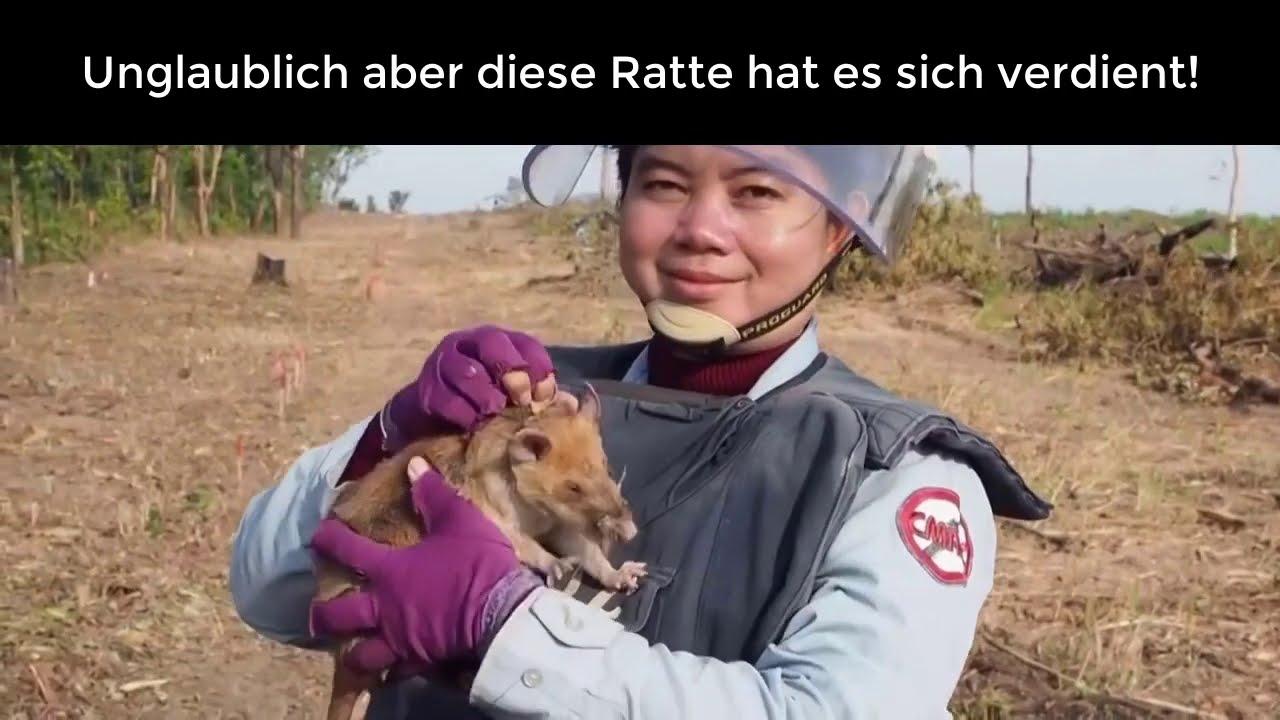 Einfach unglaublich diese Ratte