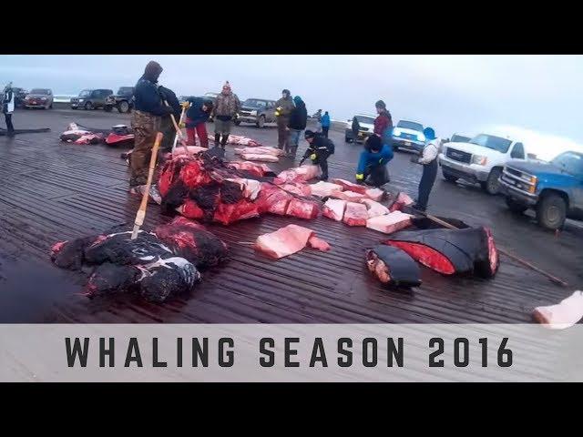 Whaling Season 2016 - Barrow, Alaska