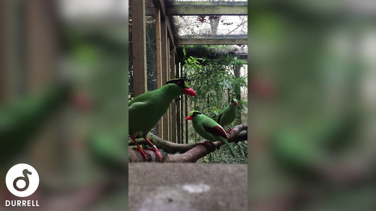 Jersey Zoo's first Javan green magpie chick needs a name