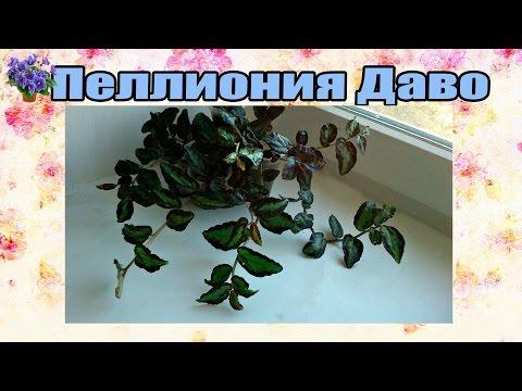 Пеллиония Даво (Pellionia daveauana) содержание и уход