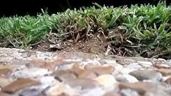 Green Top Lawn Care - Fire Ants in North Texas
