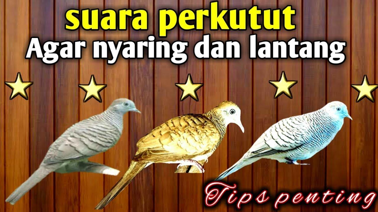 free mp3 suara burung perkutut
