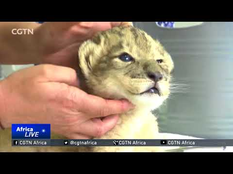 South Africa celebrates a world first as lion cubs are born via IVF
