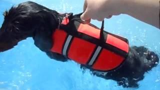 ミニチュアダックフントの【つんと】。初めてプールで泳ぎました。