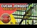 Cucak Jenggot Gacor Ngepik Dan Mbeset Suara Jernih  Mp3 - Mp4 Download