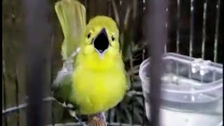 Gambar cover Burung cipow/sirtu gacor ngetrok
