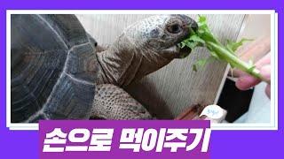 동물원에서 볼수 있는 육지거북 먹이주기[옥탑방거북이]