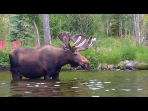 Kayaking up to a moose, Grand Lake, CO