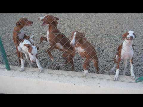 Ibizan Hound Pups
