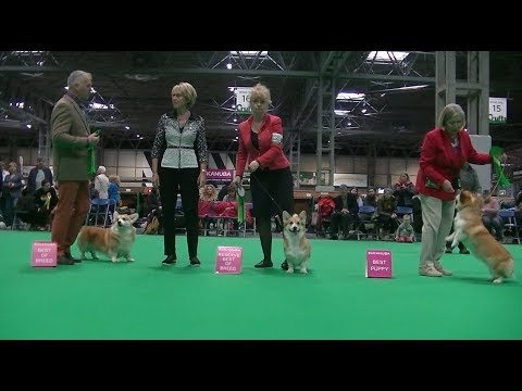Pembroke Welsh Corgi Crufts 2019