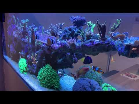 Neue Korallen Im Meerwasser Aquarium Red Sea Reefer Peninsula 650