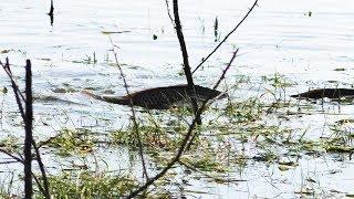 ТАКОЕ Я НЕ ВИДЕЛ Сазан лезет на берег БОЛЬШИЕ СТАИ рыбалка 2019