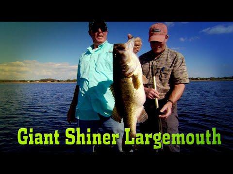 Shiner Fishing GIANT Largemouth Bass!