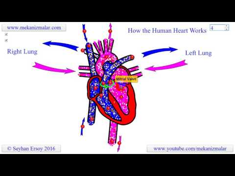 How the human heart works