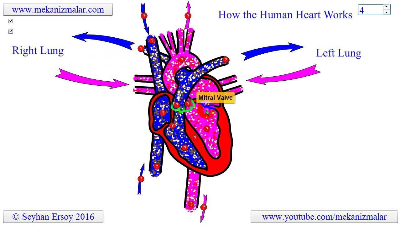 How the human heart works youtube how the human heart works ccuart Images