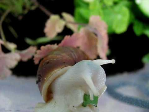 Albino Giant African Land Snail (GALS) eating