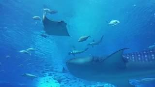 수족관의 무법자 망치상어의 참치사냥! Hammerhead shark hunts a tuna in an aquarium