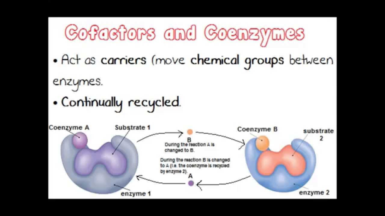 alevel biology coursework enzyme action How to remember the enzymes in the digestive system i am doing access course in biology about the digestive system i have an exam on the digestive system and enzyme.