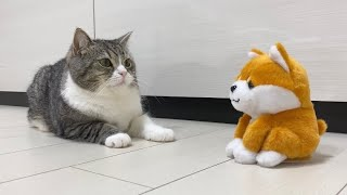 目の前の柴犬が喋ったときの猫の反応がかわいすぎたwww