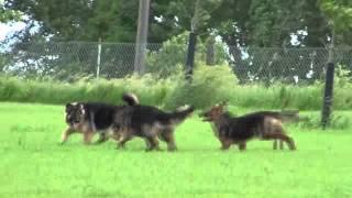 Vom Haus Dettmer Long Coat German Shepherds Chase Birds