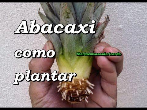 Como plantar abacaxi e mini abacaxi com a parte da coroa