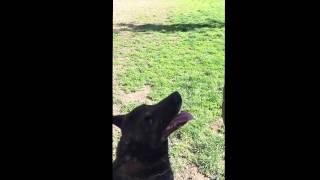 Собака считает. Der Hund kann zählen