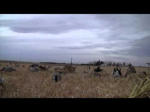 Alberta's Fall Flight Duck hunt-Dry Field- 56 Duck limit hunt