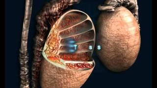 Repeat youtube video Andrología, El aparato reproductor masculino - Reproducción Asistida NACER