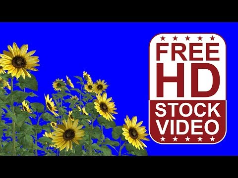 free HD video sun flowers with wind effect on blue background 3D animation