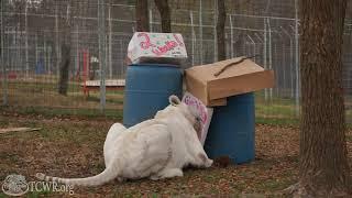 White Tiger Reminder: Two Weeks Until Giving Tuesday at Turpentine Creek Wildlife Refuge