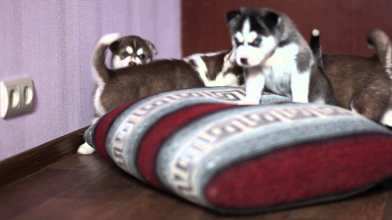 Хаски. Собаки. Хаски. Хаски. Объявления о продаже щенков и взрослых собак с фотографиями. Продам щенка хаски (девочка), 15:35, сегодня 76.
